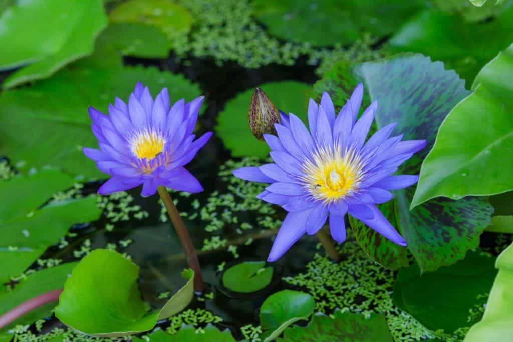Blue Lotus Flower as A Symbol of Rebirth