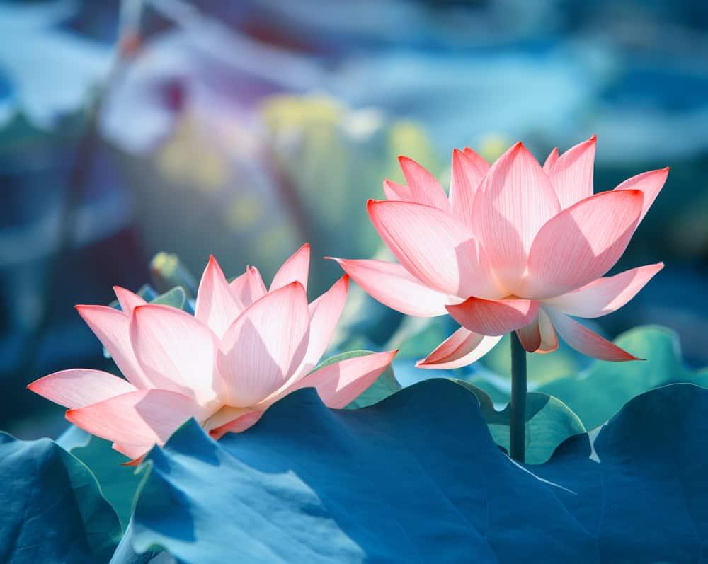 Pink Lotus Flower, Symbols of Rebirth