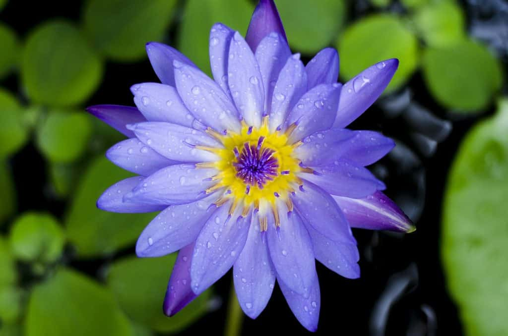 Blue Lotus Flower Meaning And Symbolism Explained