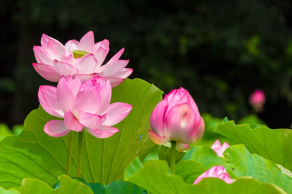 Pink Lotus Flowers Photographed