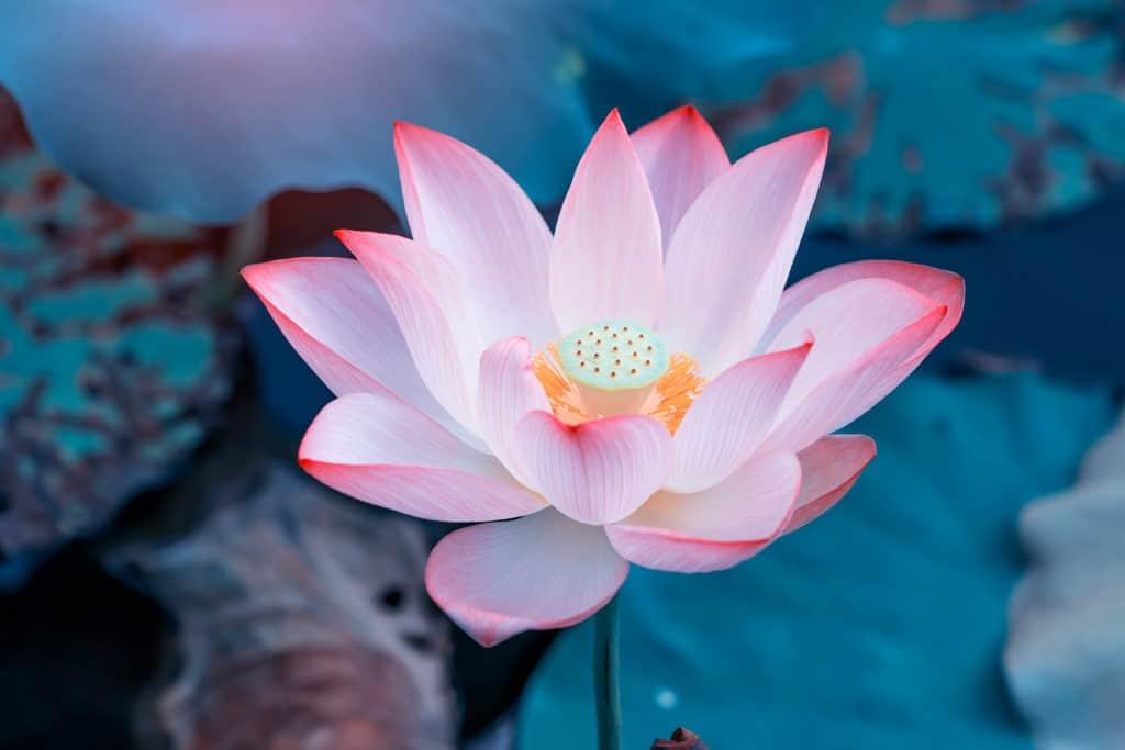 A Pink Lotus Flower, The Ancient Symbols List