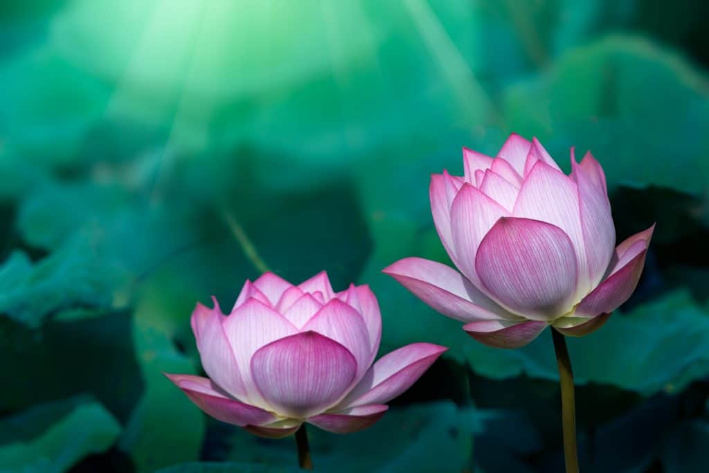 Pink Lotus Flower Meaning And Symbolism Explained