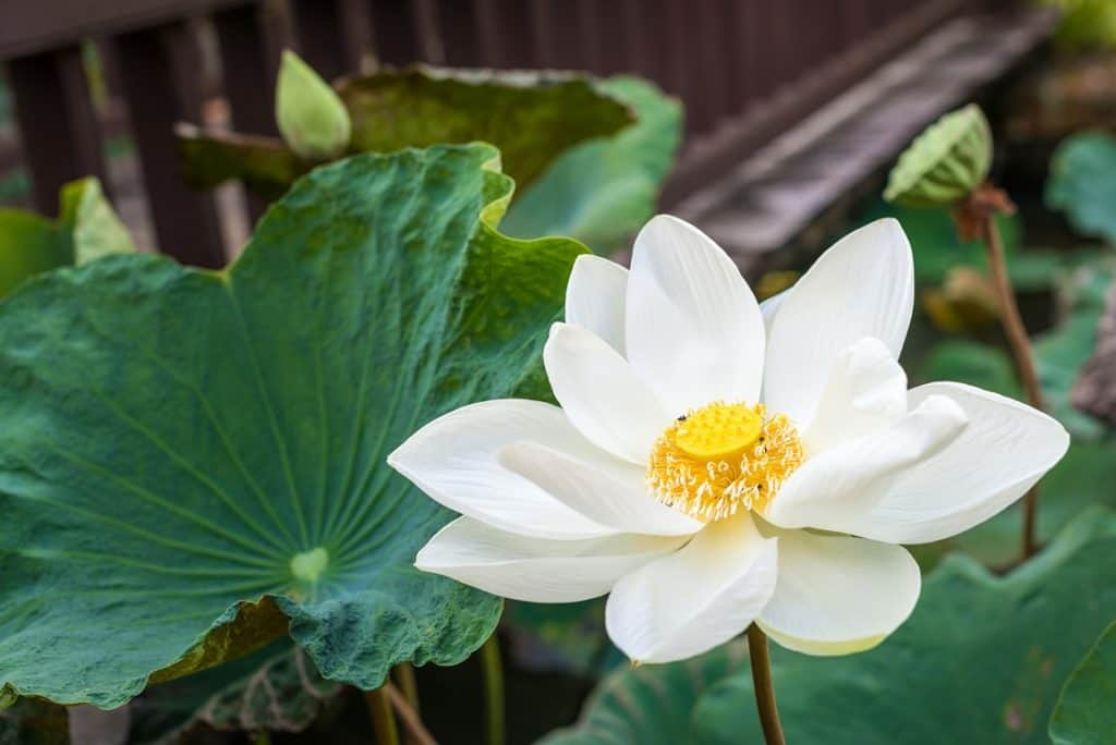 White Lotus Flower Meaning And Symbolism Explained