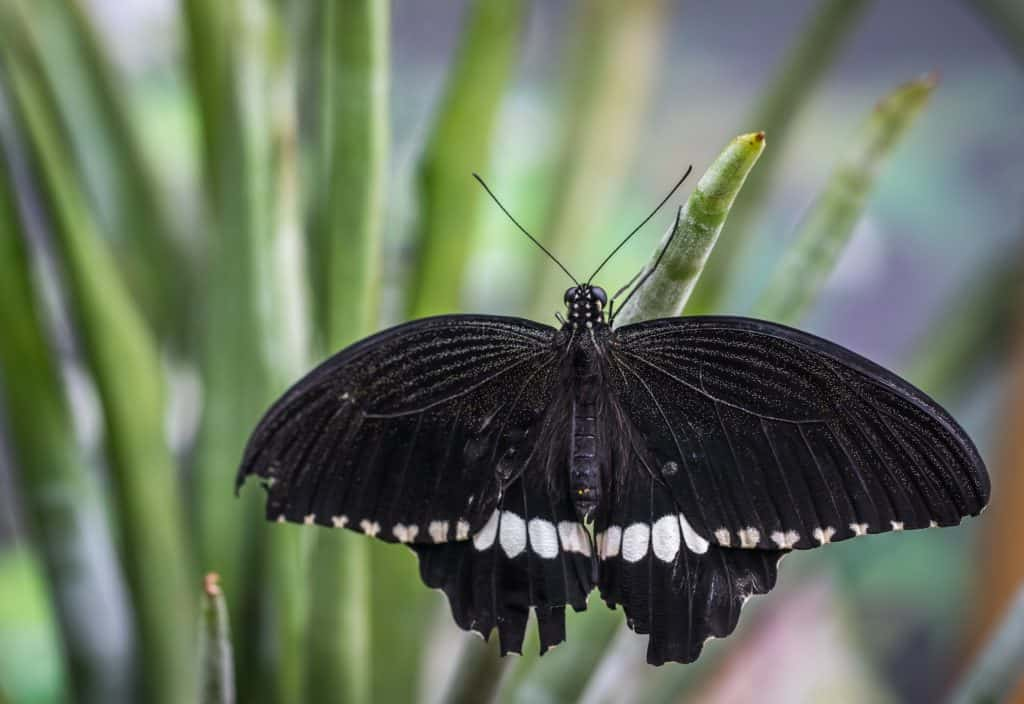 Black Butterfly, Part of Symbols of Death Collection