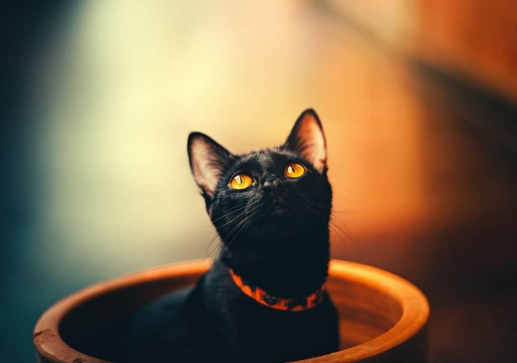 Black Cat Animals Representing Death