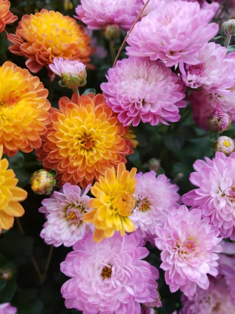 Chrysanthemums, Flowers That Represent Death and Grief
