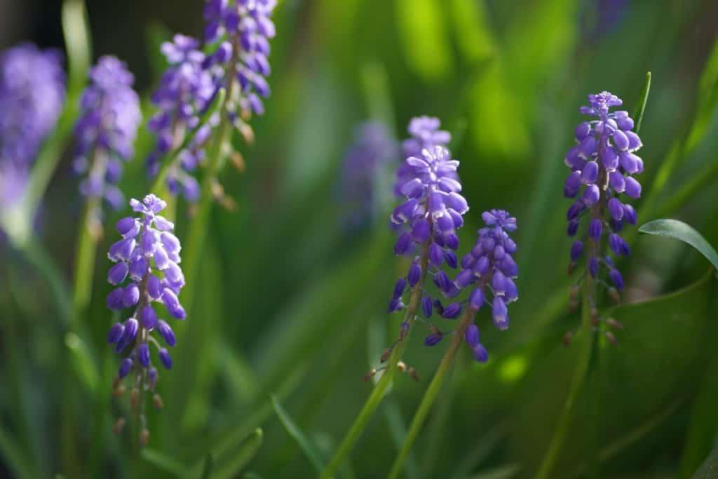 Hyacinths, Flowers That Represent Death