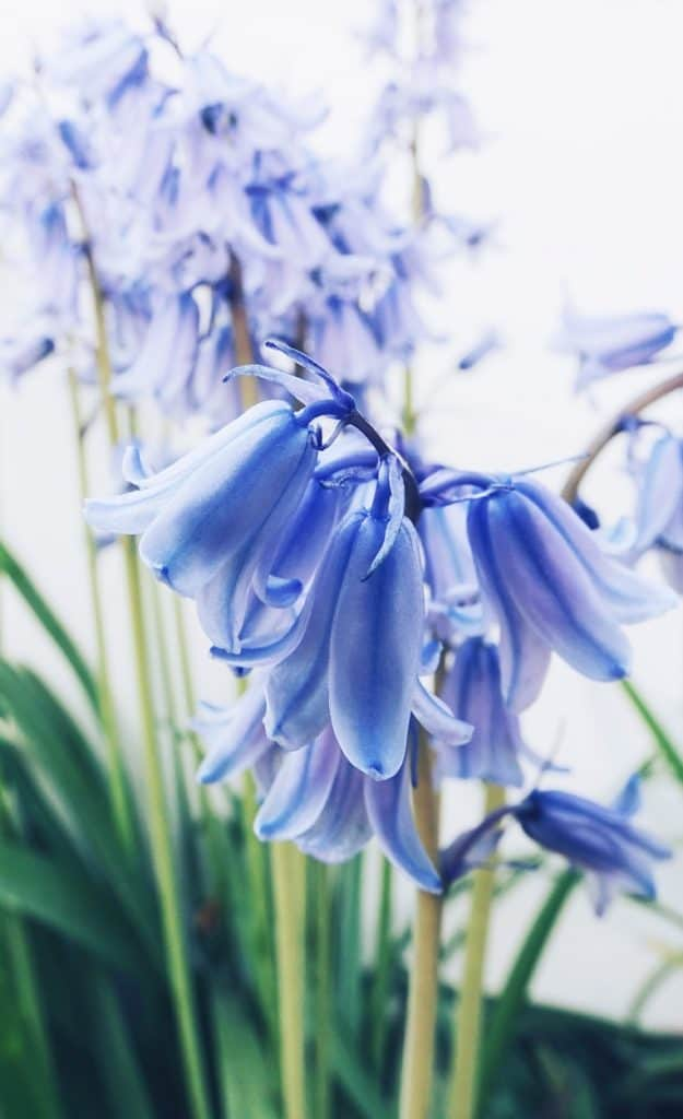 Hyacinths as Symbols of Death and Grief