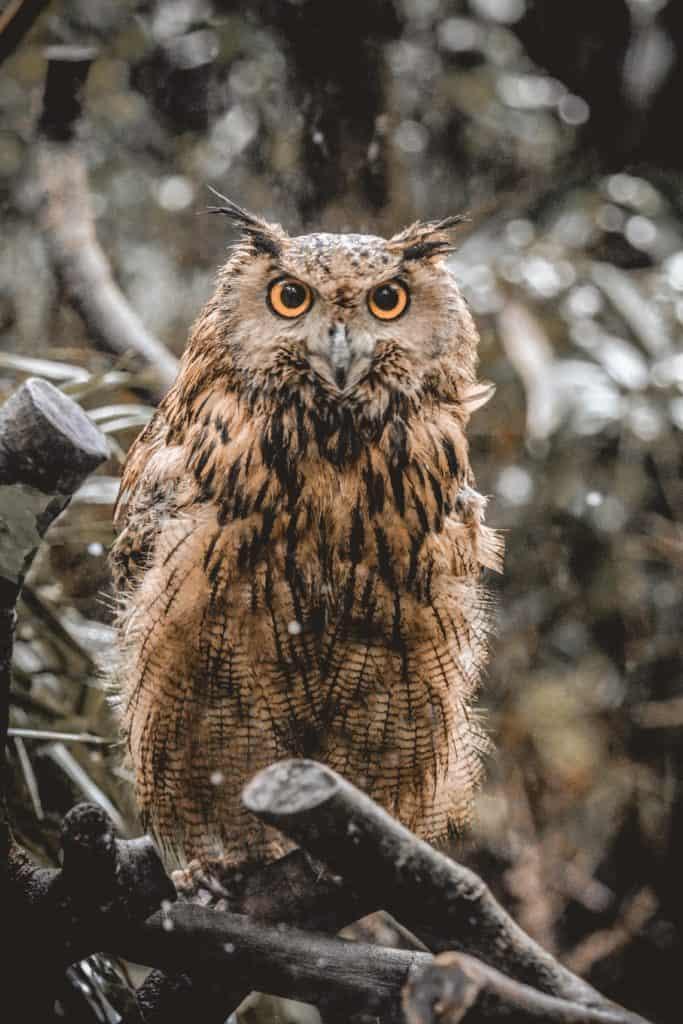 An Owl, The Bird That Represents Death