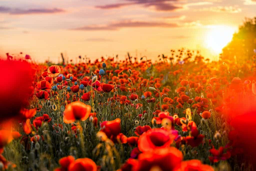 Red Poppies in a Field, Symbols of Death and Remembrance