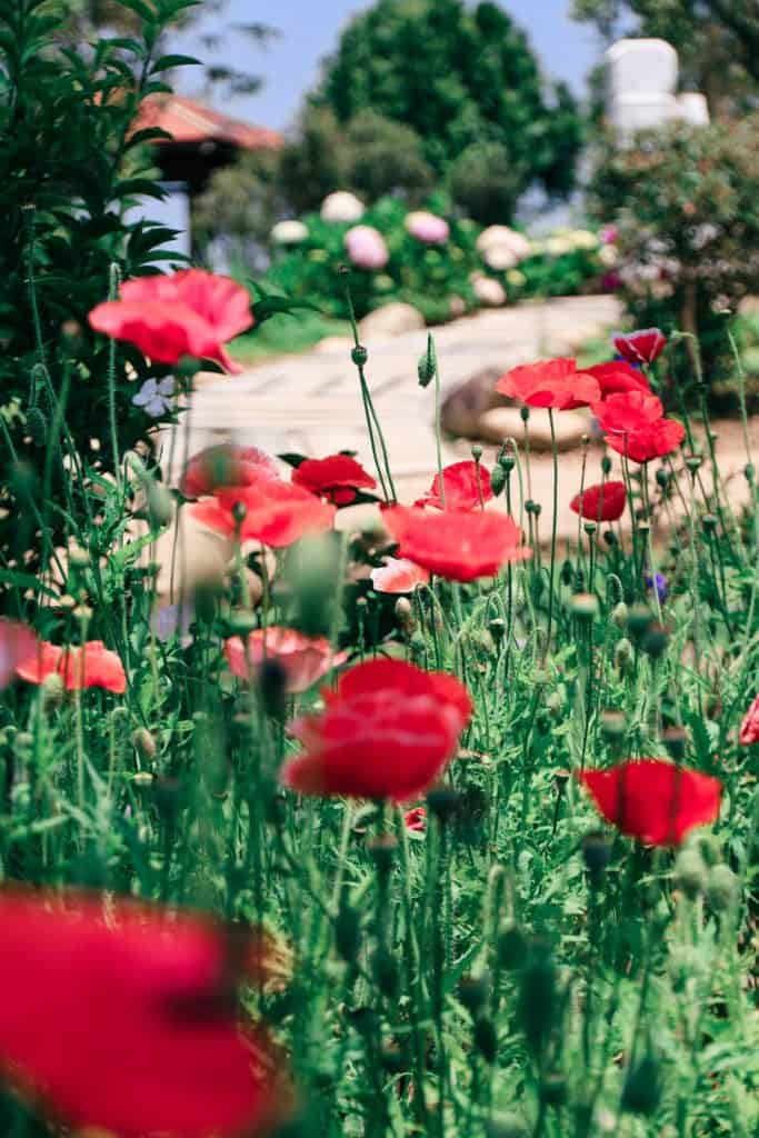 Red Poppies as Symbols of Grief