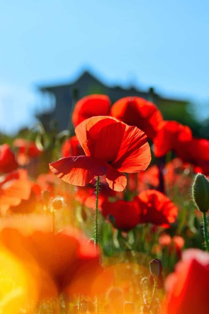 Red Poppy Flower A Symbol of Remembrance, Commemoration and Grief