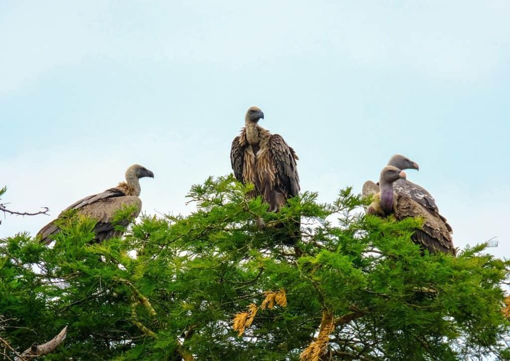 Vultures Animals That Represent Death