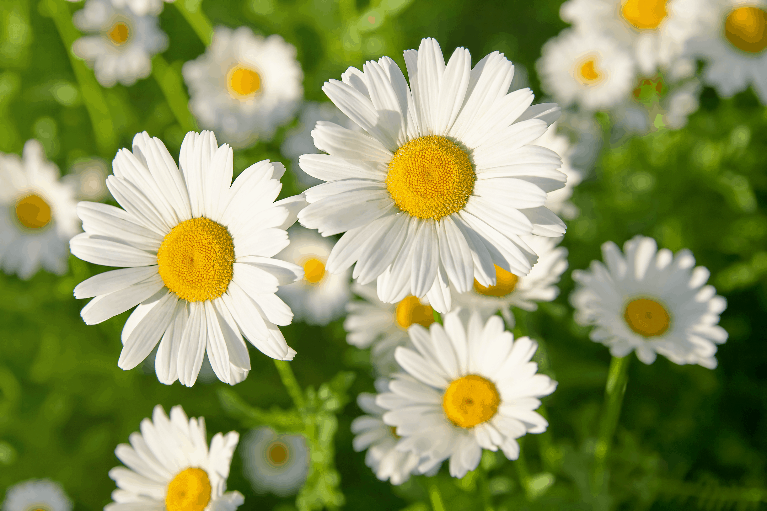 Daisy Symbolism and Meaning, Daisy Flowers in a Field