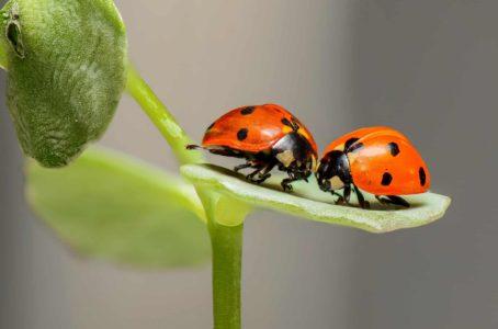 Ladybug Meaning And Symbolism Explained