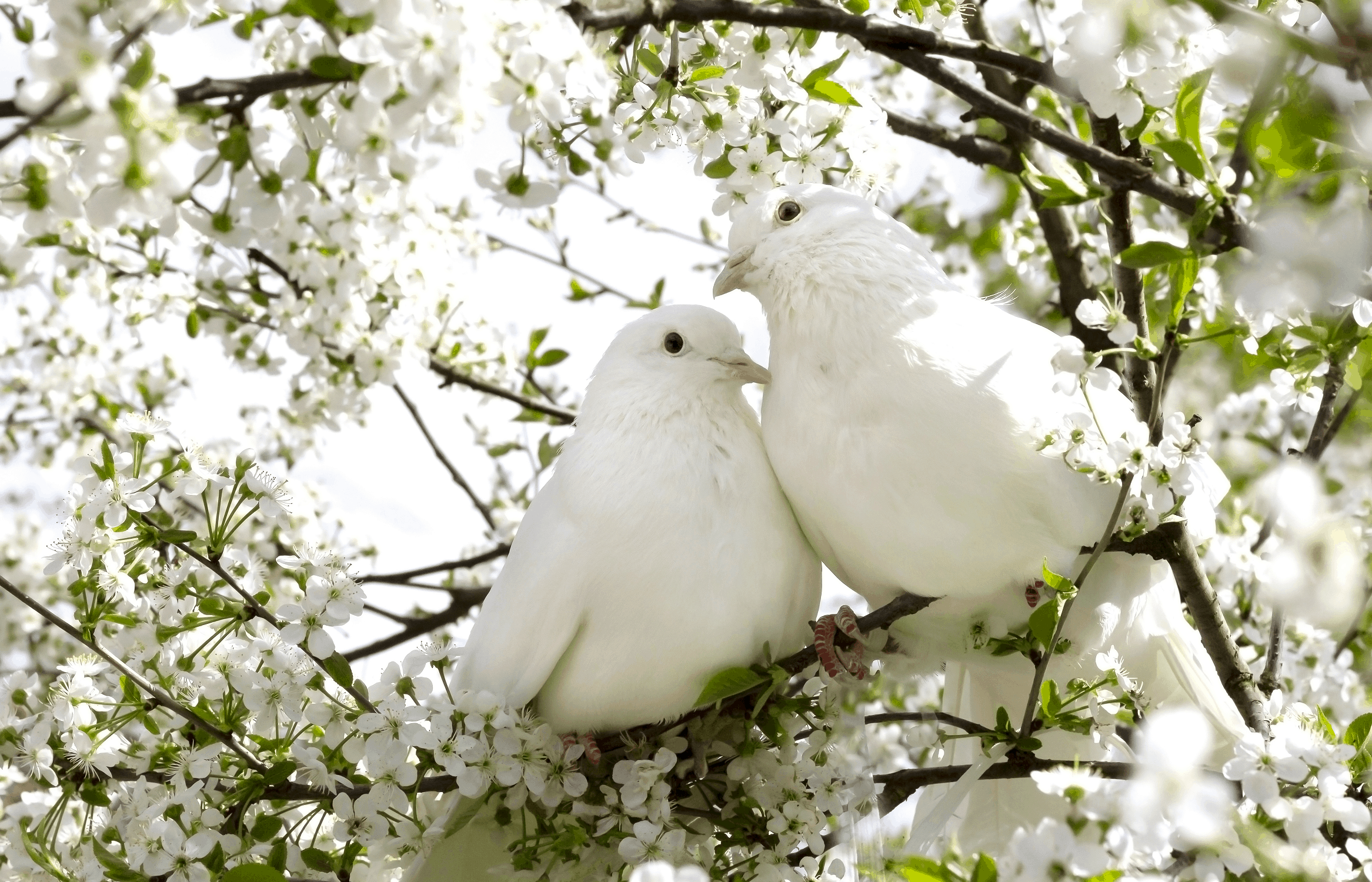 Two Dove on a Tree Branch, Universal Love Symbols